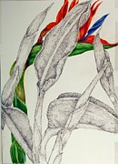 Bird Of Paradise Drawings - Bird Of Paradise In Flight by Jennifer Kirton