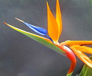 Janet McGrath - Bird of Paradise