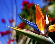 Bird Of Paradise Open For All To See Print by Jerry Cowart