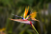 John Haldane - Bird of Paradise