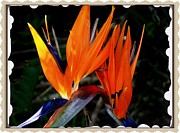 Kevin Perandis - Bird of Paradise