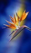 Bird Of Paradise Print by Kirk Ellison