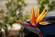 Fruitful Framed Prints - Bird of Paradise Framed Print by Leo Sopicki