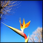 Yellow Bird Of Paradise Prints - Bird Of Paradise Print by Marco Oliveira