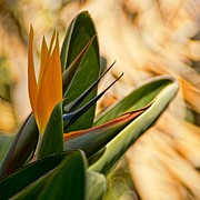 Peggy J Hughes Prints - Bird Of Paradise Print by Peggy J Hughes