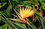 Peter J Sucy Metal Prints - Bird of Paradise Metal Print by Peter J Sucy