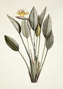 Strelitzia Art - Bird of Paradise by Pierre Joseph Redoute