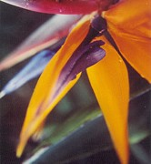 Robert Bray Metal Prints - Bird of Paradise Metal Print by Robert Bray