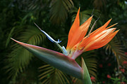 Green Posters Digital Art - Bird of Paradise - Strelitzea reginae - Tropical Flowers of Hawaii by Sharon Mau