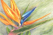 Strelitzia Painting Framed Prints - Bird of Paradise - Strelitzia reginae Framed Print by Otilia Kocsis