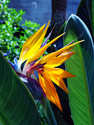 Garden Flower Posters - Bird of Paradise Poster by Susanne Van Hulst