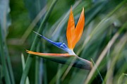 Valerie Beasley - Bird of Paradise the...