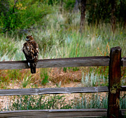 Split Rail Fence Photos - Bird of Prey by Sherlyn Morefield Gregg