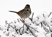 Lydia Holly - Bird On A Snowy Bush