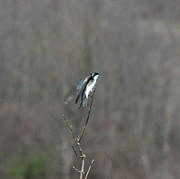 Nature Photos Prints - Bird on a Wire Print by Neal  Eslinger