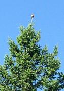 Gail Matthews - Bird on the Treetop