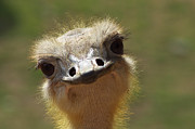 Bird Portrait Posters - Bird Ostrich portrait Poster by Angela Doelling AD DESIGN Photo and PhotoArt