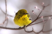Travis Truelove Photography Prints - Bird - Pine Warbler - Yellow Beauty Print by Travis Truelove