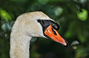 White Mute Swan Posters - Bird - Swan - Mute Swan Close up Poster by Paul Ward