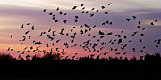 Flocks Of Birds Prints - Birds at Sunrise Print by Aimee L Maher
