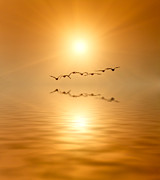 Wild Geese Posters - Birds into Sunset Poster by Wim Lanclus
