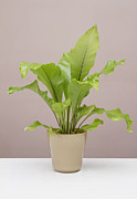 Stephen Cordory - Birds nest fern