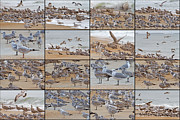 Seagull Photo Prints - Birds of Many Feathers Print by Betsy A Cutler East Coast Barrier Islands