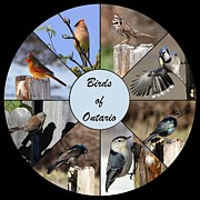 Birds Of Ontario Print by Davandra Cribbie