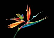 Anne Beverley - Birds of Paradise