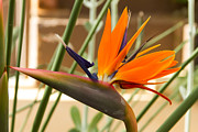 Heather Roper - Birds of Paradise