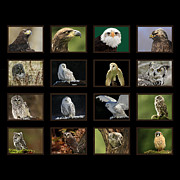 Birds Of Prey Of Canada Print by Inspired Nature Photography By Shelley Myke
