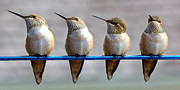 Rufous Hummingbird Posters - Birds on a Wire Poster by Randy Hall
