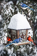 Blue Jay Posters - Birds on bird feeder in winter Poster by Elena Elisseeva