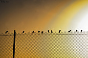 Nagi Shubo - Birds on fence
