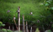 Pinot Noir Photos - Birds on the vineyard wires by CJ Lesieutre