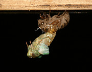 Morphing Photo Posters - Birth of a Cicada Poster by Marcie Sutton