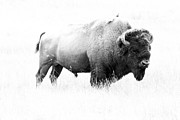 Christiane Schulze Digital Art Posters - Bison - Monochrome Poster by Christiane Schulze