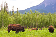 Bison Digital Art - Bison along Alaska Highway in British Columbia-CANADA by Ruth Hager