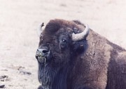 Myrna Walsh - Bison At Rest