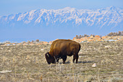 Bison Art - Bison Beneath the Range by Greg Norrell