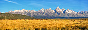 Limited Edition Framed Prints - Bison Beneath the Tetons Limited Edition Panorama Framed Print by Greg Norrell