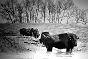 Bison Digital Art - Bison Black and White Southern Alberta by Diane Dugas
