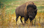 Bison Digital Art Framed Prints - Bison Buffalo Framed Print by National Parks Service