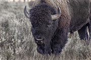 Bison Originals - Bison Bull Closeup by Robert Carney