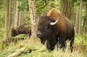 Featured On Fineart America - Bison Bull by Sean Griffin
