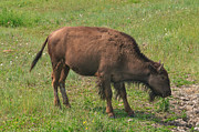 Charles Kozierok Art - Bison Calf Lunch by Charles Kozierok