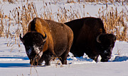 Bison Photos - Bison charging 2 by Michael  Nau