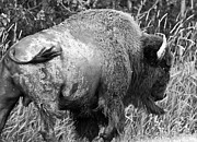 Bison Photos - Bison charging by Michael  Nau