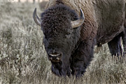 Bison Closeup Print by Robert Carney