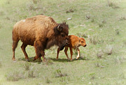 Clare VanderVeen - Bison Cow and Calf